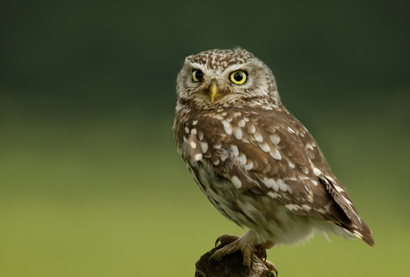 Close up of a Little Owl (Athene noctua) perching on a post, Worcestershire, UK. Stock Photo