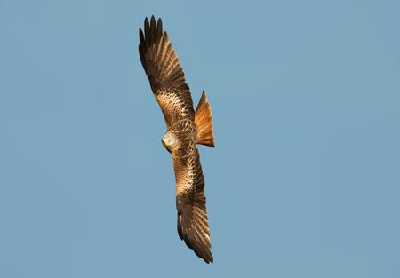 Red kite (Milvus milvus) in flight against clear blue sky, UK. Stock Photo