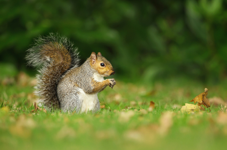 Close-up of a grey squirrel eating a nut in the meadow among autumn leaves, UK.