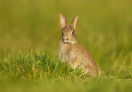 Close-up of a wild young rabbit sitting in the meadow, UK.