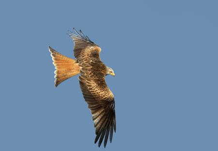Red kite (Milvus milvus) in flight against clear blue sky, UK. 版權商用圖片