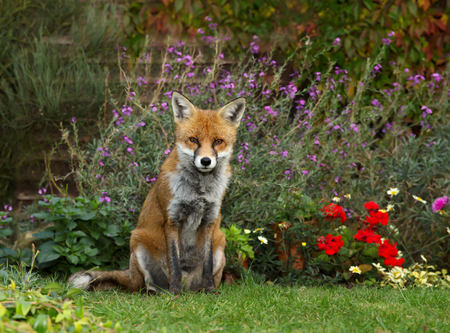 Close up of a Red fox (Vulpes vulpes) in the garden with flowers, UK.