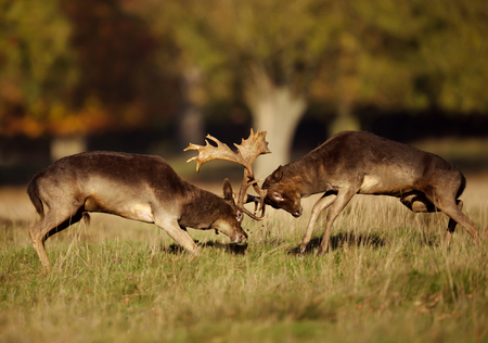 Close up of two male fallow deer (Dama dama) fighting during rut in autumn, UK. Standard-Bild