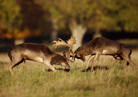Close up of two male fallow deer (Dama dama) fighting during rut in autumn, UK. Фото со стока