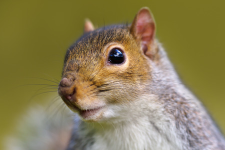 Close up of Eastern grey squirrel against green background, UK.