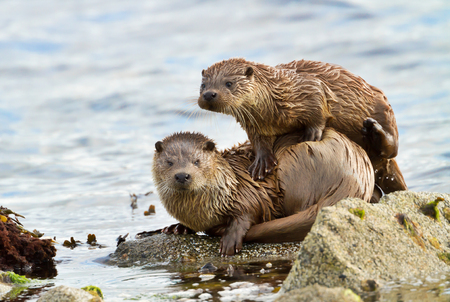 Close up of European otter (Lutra lutra) with a playful cub on shores of Shetland islands, Scotland. Stock Photo
