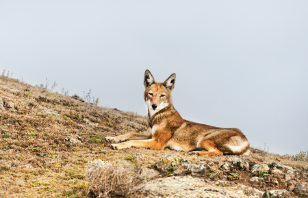 Close up of endangered Ethiopian wolf (Canis simensis) - canid native to the Ethiopian Highlands, Bale mountains, Ethiopia. Stock Photo