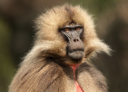 Close up of endemic Gelada monkey (Theropithecus gelada), Simien mountains,  Ethiopia.