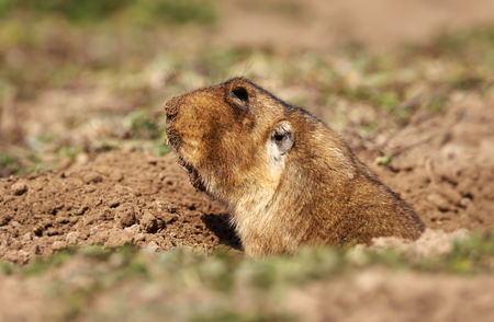 Close up of a big-headed African mole-rat, also known as the giant root-rat, Ethiopian African mole-rat, or giant mole-rat in Bale Mountains, Ethiopia.