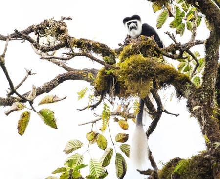 Mantled guereza (Colobus guereza) monkey in the Harenna Forest. Bale Mountains National Park, Ethiopia. Reklamní fotografie
