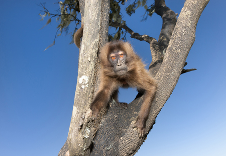 Close up of a curious baby Gelada monkey sitting in the tree, Simien mountains, Ethiopia. Stockfoto