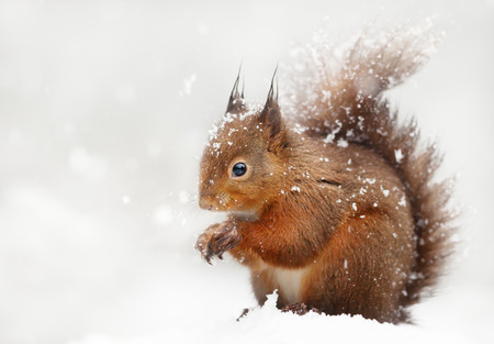 Close up of a red squirrel in the falling snow in winter, UK.