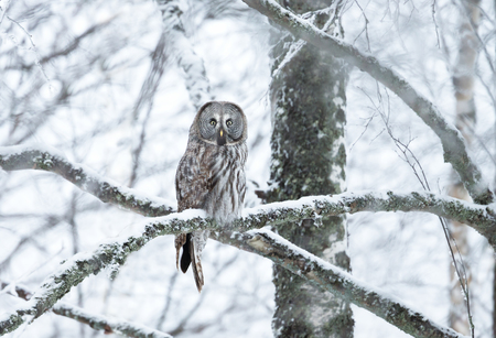 Great Grey Owl perching on a tree branch in winter, Finland. Stockfoto