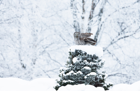 Great Grey Owl perching on a tree in winter, Finland.