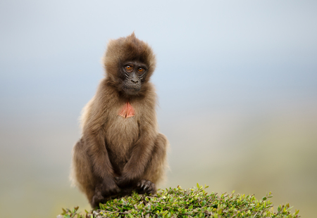 Close up of a baby Gelada monkey sitting on grass, Simien mountains, Ethiopia.