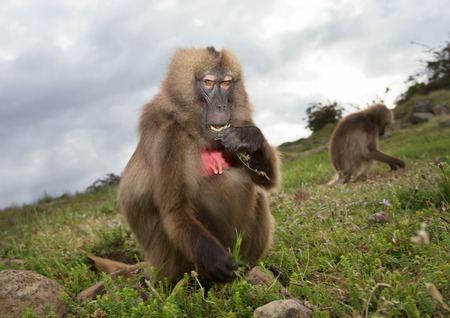 Close up of a female Gelada monkey eating grass on a cloudy day in Simien mountains, Ethiopia.