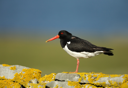 Close up of Oystercatcher (Haematopus ostralegus) perched on a mossy stone fence in Scotland, UK. Reklamní fotografie