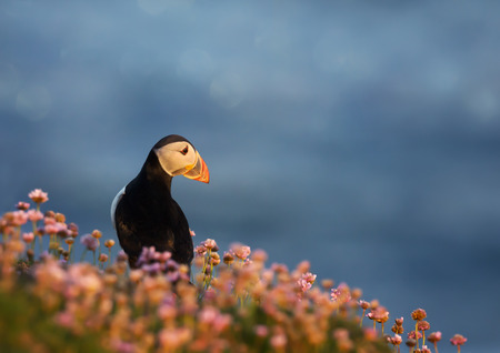 Atlantic puffin in the field of thrift at sunrise on a coastal area of Shetland islands, UK.