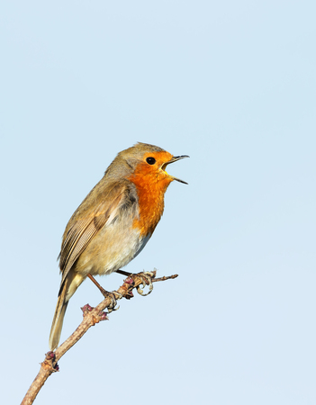 Close up of European Robin (Erithacus rubecula) singing against clear blue background, UK.