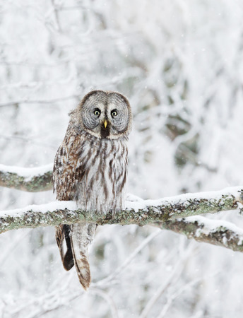 Close up of Great Grey Owl (Strix nebulosa) perched in a tree, winter in Finland.