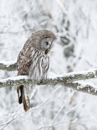 Close up of Great Grey Owl (Strix nebulosa) perched in a tree, winter in Finland. Stock fotó - 117859640