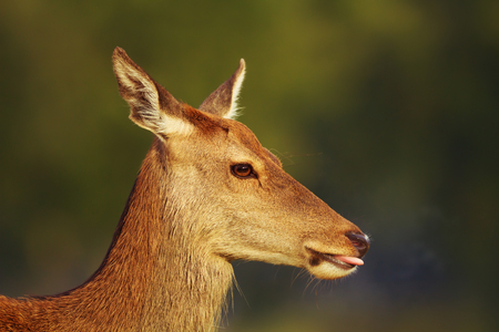 Close-up of a red deer hind against green background, UK. Stock Photo
