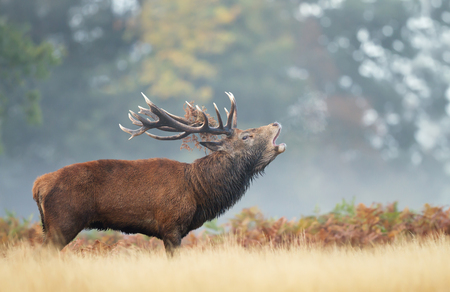 Close up of a Red Deer calling during rutting season in autumn.