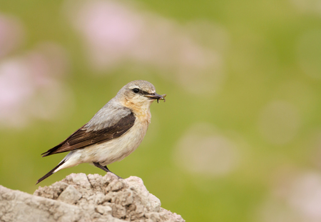 Close up of a Northern wheatear in the meadow against colorful background, UK.