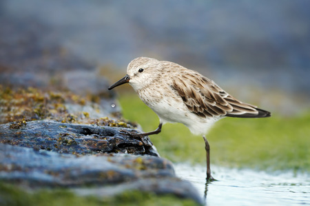 Close up of Sanderling (Calidris alba) in water looking for marine crustaceans and fish to eat.