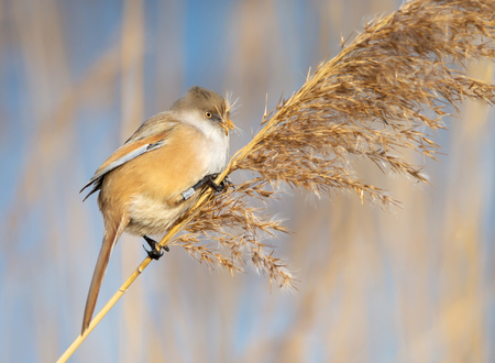 Close up of a Bearded tit (Panurus biarmicus) feeding on seeds in a reed bed, UK.