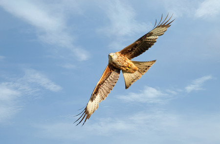 Close up of a Red kite in flight against blue sky, Chilterns, Oxfordshire, UK. 版權商用圖片