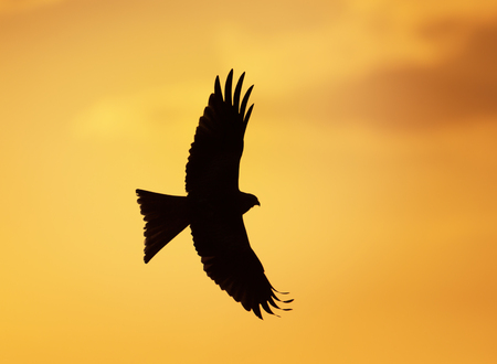 Silhouette of a red kite (Milvus milvus) in flight, UK. Stock Photo