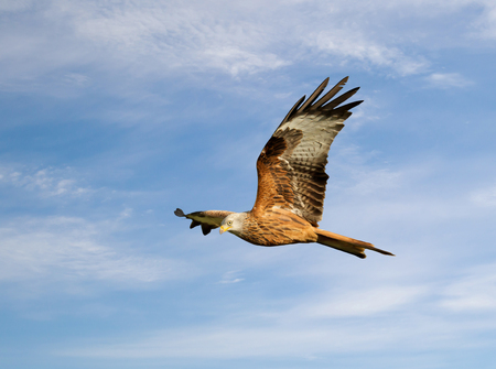 Close up of a Red kite in flight against blue sky, Chilterns, Oxfordshire, UK. Stock Photo
