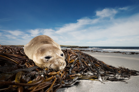 Close up of a young Southern Elephant seal lying on seaweeds, Falklands Islands. Imagens
