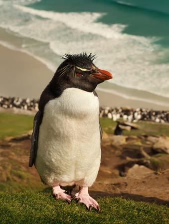 Close up of Southern rockhopper penguin (Eudyptes chrysocome) standing on a coastline, Falkland Islands. Foto de archivo