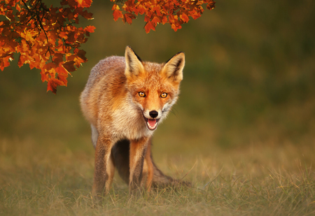 Close up of a Red fox (Vulpes vulpes) in autumn.