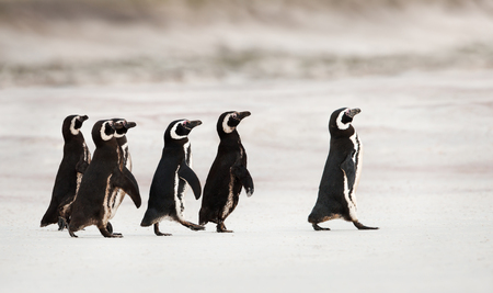 Magellanic penguins heading out to sea for fishing on a sandy beach, Falklands.