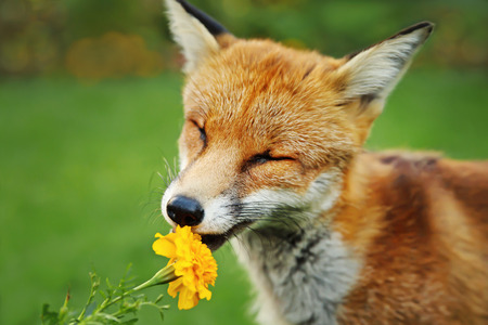 Close up of a Red fox smelling marigold flower, UK. Banco de Imagens