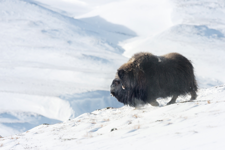 Close up of a male Musk Ox in Dovrefjell mountains in winter, Norway.