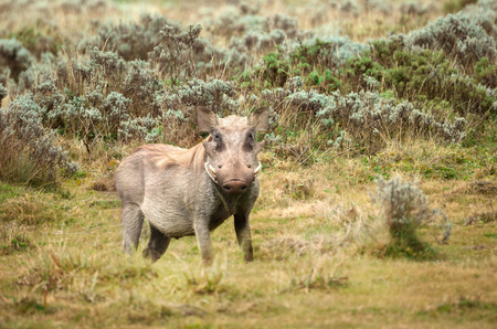 Close up of a common Warthog standing in the grassland, Dinsho, Ethiopia.