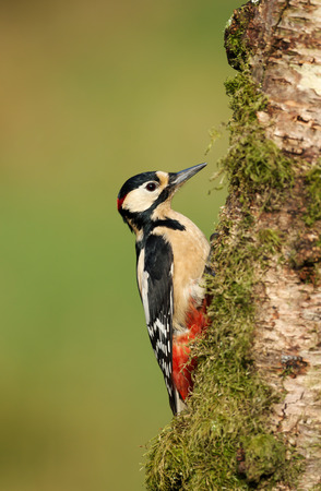 Close up of a Great Spotted Woodpecker (Dendrocopos major) perching on a tree trunk, UK. 스톡 콘텐츠