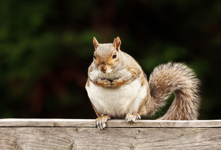 Close up of an Eastern Grey squirrel sitting on a wooden fence, UK.