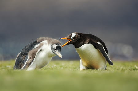 Close up of Gentoo penguin yelling at a chick for a poor behavior, Falkland Islands.