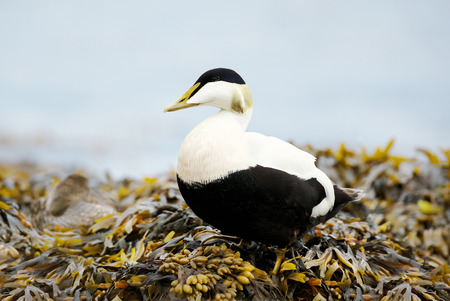 Close-up of a male common eider standing in seaweeds on a coast, Iceland.