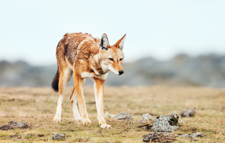 Close up of a rare and endangered Ethiopian wolf (Canis simensis) in the highlands of Bale mountains, Ethiopia.