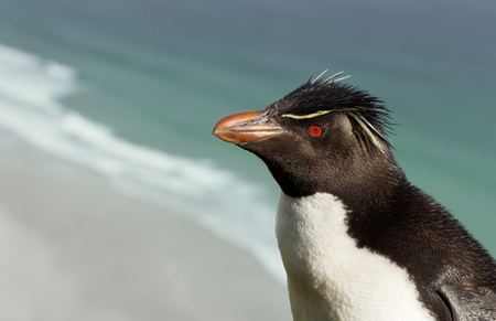 Close up of Southern rockhopper penguin on the coasts of Falkland Islands.