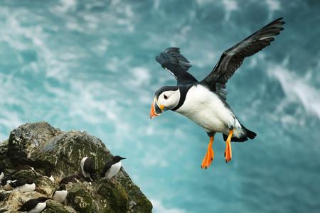 Close up van Atlantische papegaaiduiker tijdens de vlucht in een kustgebied van de Shetlandeilanden, Verenigd Koninkrijk. Stockfoto