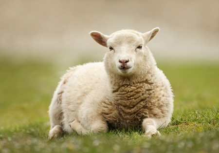 Close up of a Northern European short-tailed sheep laying on the grass, Scotland. Stockfoto