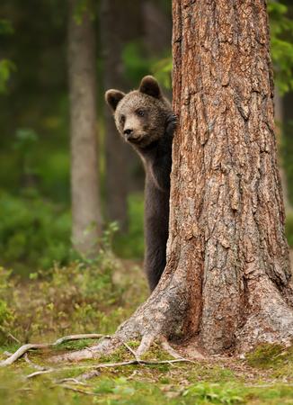 Cachorro de oso pardo europeo (ursos arctos) asomando la cabeza desde detrás del árbol, Finlandia.