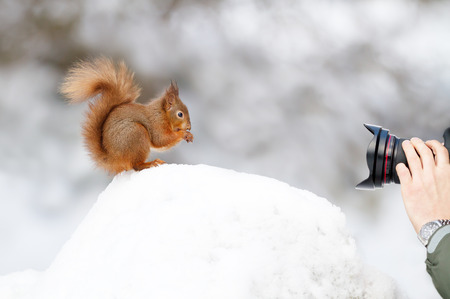 Photographer taking a picture of a Red squirrel sitting in the snow in winter, England.